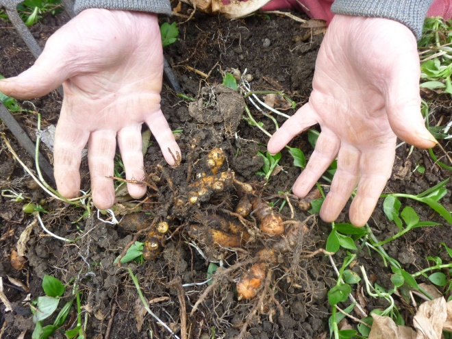 Turmeric, some or the smallish crop